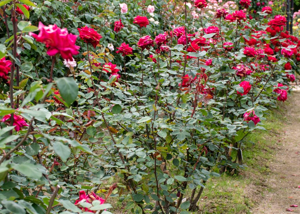 バラ(クリスチャン・ディオール)の花。庄堺公園で撮影