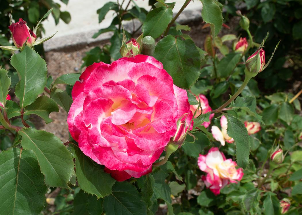 バラ(ダブル・デライト)の花。湖西浄化センターで撮影