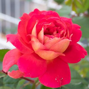 オータム・花博記念公園鶴見緑地で撮影したバラの花