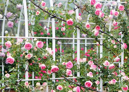 ピンク色のつるバラ