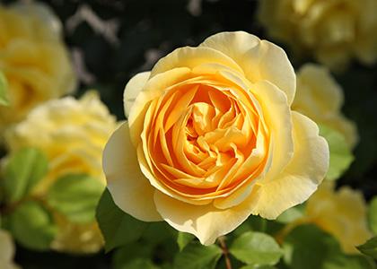 黄色のイングリッシュローズ