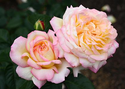 ピンクとクリーム色の複色のハイブリッドティーローズ