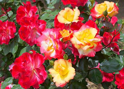 複色のバラの花