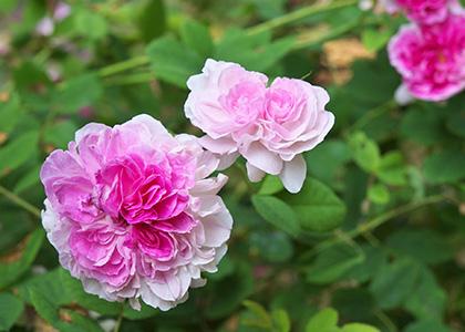 ピンク色のオールドローズ