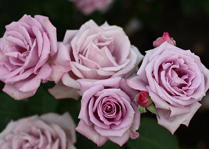 紫色のバラの花