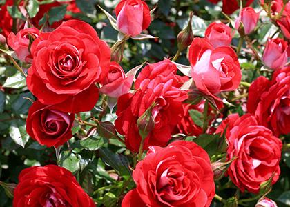 赤色のバラの花