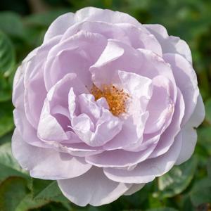 ブルー・バユー:長居植物園で撮影したバラの花
