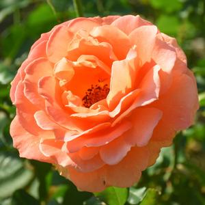 ブラスバンド:荒巻バラ公園:長居植物園で撮影したバラの花