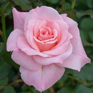 ブライダル・ピンク:長居植物園で撮影したバラの花