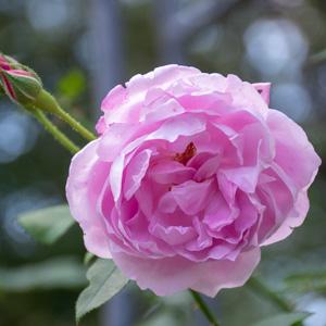 チャンピオン・オブ・ザ・ワールド:花博記念公園鶴見緑地で撮影したバラの花
