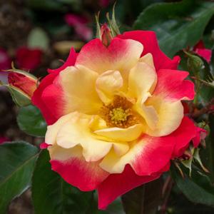 チャールストン:滋賀県湖西浄化センターで撮影したバラの花
