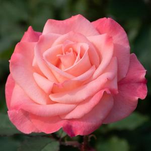 チェリッシュ:長居植物園で撮影したバラの花
