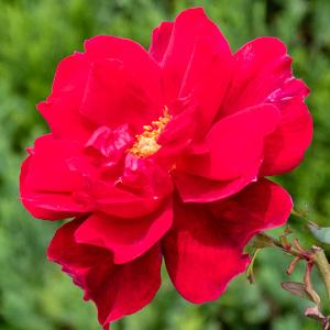 つるクリストファー・ストーン:長居植物園で撮影したバラの花