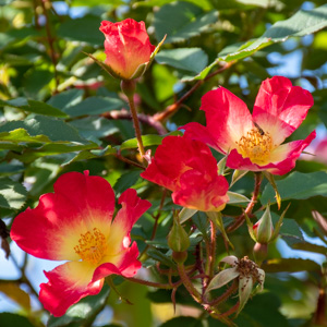 カクテル:花博記念公園鶴見緑地で撮影したバラの花