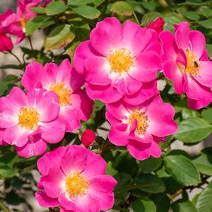 カウンティ・フェア:長居植物園で撮影したバラの花
