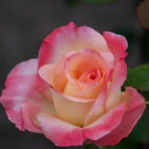エレガント・レディ/ダイアナ・プリンセス・オブ・ウェールズ:びわ湖大津館イングリッシュガーデンで撮影したバラの花