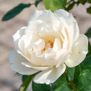 エーデルワイス:長居植物園で撮影したバラの花