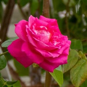 つるエデン・ローズ:長居植物園で撮影したバラの花