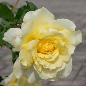 エリナ:長居植物園で撮影したバラの花