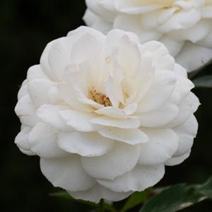 ファビュラス!:長居植物園で撮影したバラの花