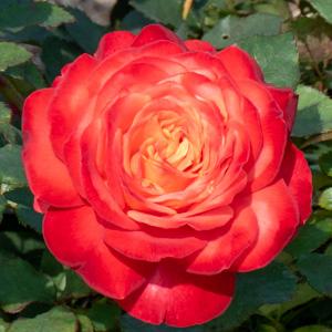 フリュイテ:長居植物園で撮影したバラの花