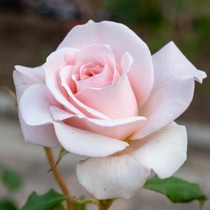 フレンチ・レース:長居植物園で撮影したバラの花