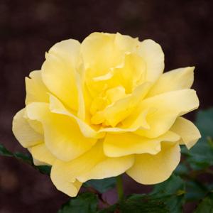 フリージア/サンスプライト:長居植物園で撮影したバラの花