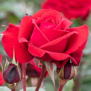 ガルテンツァウバー'84:長居植物園で撮影したバラの花