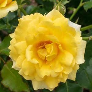 ゴールド・バニー:滋賀県湖西浄化センターで撮影したバラの花