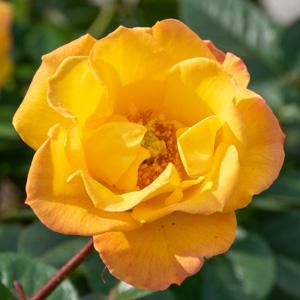 ゴールドマリー'84:長居植物園で撮影したバラの花
