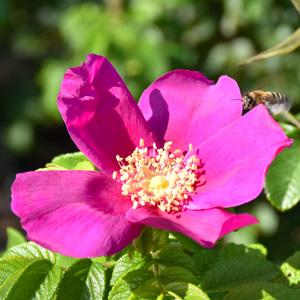 ハマナス:荒巻バラ公園で撮影したバラの花