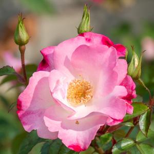 花霞:長居植物園で撮影したバラの花