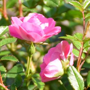 花冠:荒巻バラ公園で撮影したバラの花