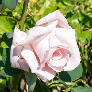 花嫁:花博記念公園鶴見緑地で撮影したバラの花