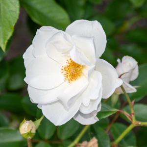 アイスバーグ/シュネーヴィッチェン:花博記念公園鶴見緑地で撮影したバラの花