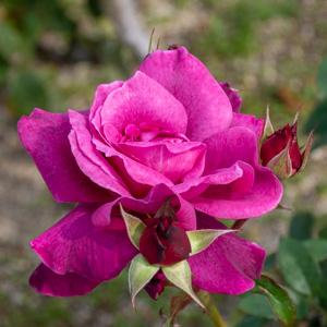 イントリーグ:長居植物園で撮影したバラの花