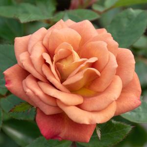 カレイドスコープ:長居植物園で撮影したバラの花