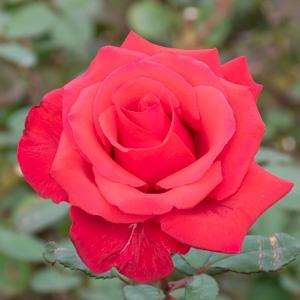 カーディナル:長居植物園で撮影したバラの花