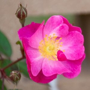 ラベンダー・ドリーム:長居植物園で撮影したバラの花