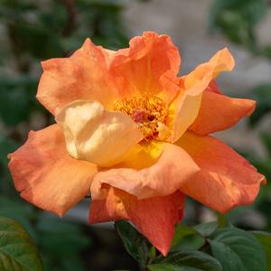 ルイ・ド・フュネス:長居植物園で撮影したバラの花