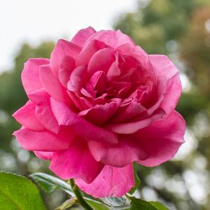マガリ:長居植物園で撮影したバラの花