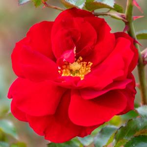 マイナーフェアー::長居植物園で撮影したバラの花
