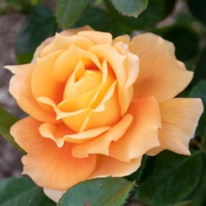 マンヨウ(万葉):長居植物園で撮影したバラの花