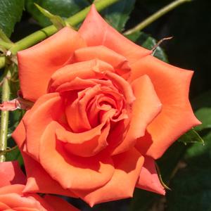 マリーナ:びわ湖大津館イングリッシュガーデンで撮影したバラの花