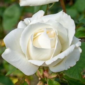 マサユキ(正雪):長居植物園で撮影したバラの花