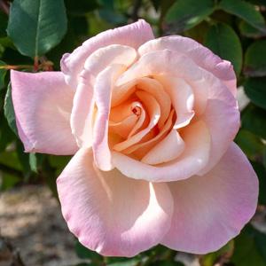 ミッシェル・メイアン:長居植物園で撮影したバラの花