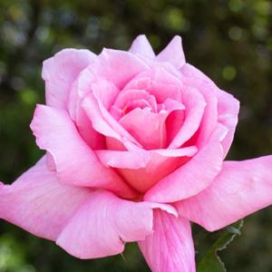モモヤマ(桃山):万博記念公園平和のバラ園で撮影したバラの花