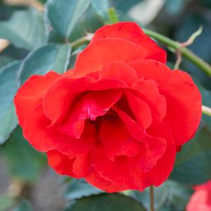 オリンピック・ファイヤー:花博記念公園鶴見緑地で撮影したバラの花