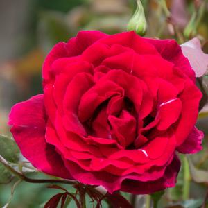 パパ・メイアン/パパ・メイヤン:滋賀県湖西浄化センターで撮影したバラの花