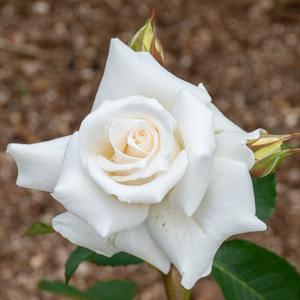 パスカリ:滋賀県湖西浄化センターで撮影したバラの花
